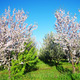 Almond trees blooming in orchard at Portugal - PhotoDune Item for Sale