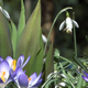 Snowdrops & Crocuses - Spring Flowers - 129 - VideoHive Item for Sale