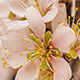 Apricot Flower Blooming - VideoHive Item for Sale