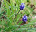 Grape hyacinth - Muscari - PhotoDune Item for Sale