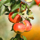 Ripe Apples - VideoHive Item for Sale