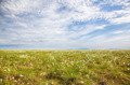 Cotton grass tundra - PhotoDune Item for Sale