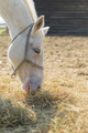 White horse eating straw (close up) - PhotoDune Item for Sale