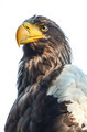 Eastern Imperial Eagle - PhotoDune Item for Sale