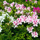 Rhododendron,whiet flowers - PhotoDune Item for Sale