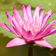 pink lotus flower - PhotoDune Item for Sale