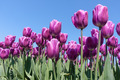 Purple tulips of the Netherlands - PhotoDune Item for Sale