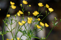 Buttercup flowers in the field - PhotoDune Item for Sale