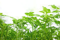 Young green tomatoes plants - PhotoDune Item for Sale
