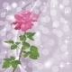 Holiday Background with Rose - GraphicRiver Item for Sale