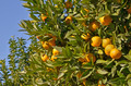 Orange tree with fruits - PhotoDune Item for Sale