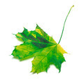 Yellowed maple-leaf - PhotoDune Item for Sale