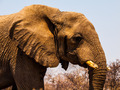 African elephant (Loxodonta) - PhotoDune Item for Sale