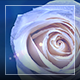 Rose Rotation - VideoHive Item for Sale