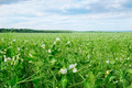 field with flowering peas and blue sky - PhotoDune Item for Sale