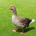 goose on green field - PhotoDune Item for Sale