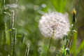 Western Salsify - Tragopogon dubius - PhotoDune Item for Sale