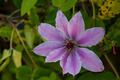 Clematis flower in a personal garden - PhotoDune Item for Sale