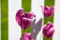 Purple tulip flower in a garden - PhotoDune Item for Sale