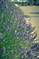 Lavender Bush on Street Flowerbed - PhotoDune Item for Sale