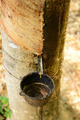Rubber tree plantation - PhotoDune Item for Sale