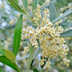 Olive flowers and buds - PhotoDune Item for Sale