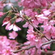 Cherry Tree Flowers 01 - VideoHive Item for Sale