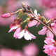 Cherry Tree Flowers 02 - VideoHive Item for Sale