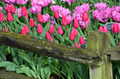 Red and pink tulips - PhotoDune Item for Sale