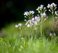 Cuckoo flower Garden - PhotoDune Item for Sale
