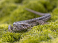 Wild Sand Lizard resting - PhotoDune Item for Sale