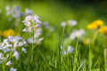 Cuckoo flower Background - PhotoDune Item for Sale