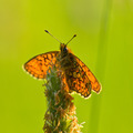 Bog Fritillary - PhotoDune Item for Sale