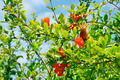pomegranate tree with flowers and unripe fruit - PhotoDune Item for Sale
