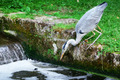 Heron hunting for fish - PhotoDune Item for Sale
