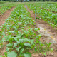 Chinese cabbage plantation - PhotoDune Item for Sale
