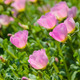 Pink Portulaca  - PhotoDune Item for Sale