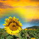 Beautiful sunflower on a field in summer - PhotoDune Item for Sale