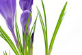Beautiful vivid purple crocus flowers closeup on white background - PhotoDune Item for Sale