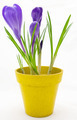 Purple crocus in yellow pot isolated on white background - PhotoDune Item for Sale