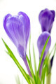 Purple crocus flowers closeup isolated on white background - PhotoDune Item for Sale