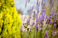 Butterfly at Lavender Bush - PhotoDune Item for Sale