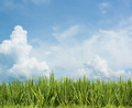 Grass and beautiful sky. Rice field floral background - PhotoDune Item for Sale