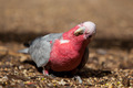Single galah - PhotoDune Item for Sale