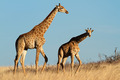 Giraffes in open grassland - PhotoDune Item for Sale