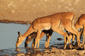 Impala antelopes at waterhole - PhotoDune Item for Sale