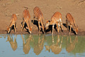 Nyala antelopes drinking - PhotoDune Item for Sale