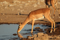 Impala antelope at waterhole - PhotoDune Item for Sale