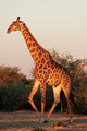 Giraffe bull - PhotoDune Item for Sale