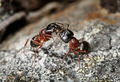 Carpenter ants (Camponotus herculeanus) - PhotoDune Item for Sale